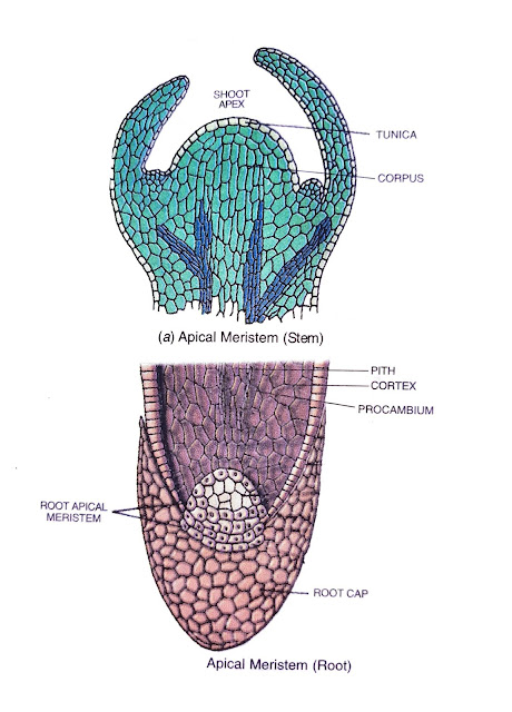 the two main types of plant tissues