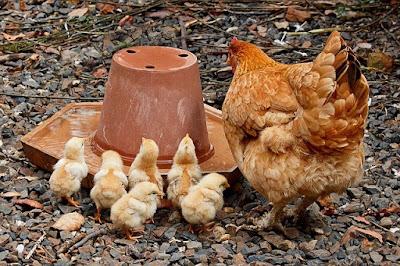 Cara Ternak Ayam Kampung Agar Terhindar Dari Penyakit