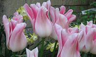 gerak nasti thermonasti pada bunga tulip, gerak pada tumbuhan