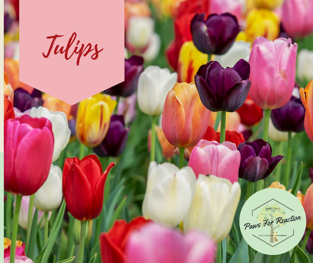 Spring safety 10 common flowers that are toxic to dogs Tulips
