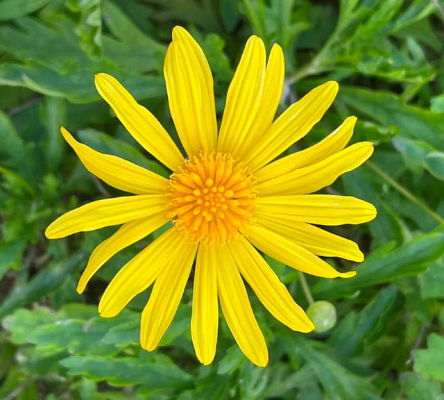 Margarida Amarela - Euryops chrysanthemoides