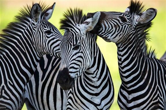 Zebra - Z Hayvan İsimleri