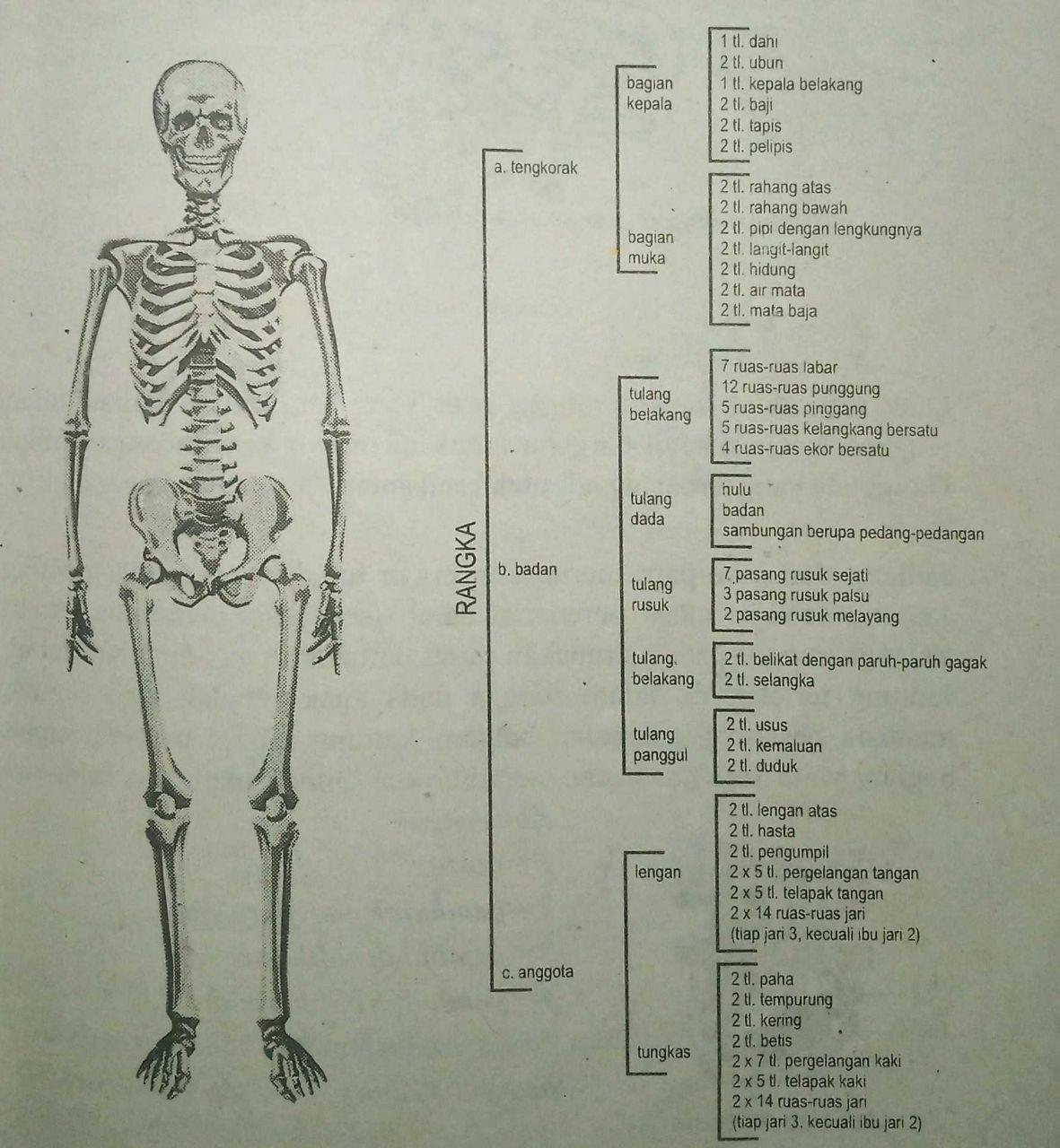 Usus Halus Dan Usus Besar Dilindungi Oleh Tulang - Rajiman