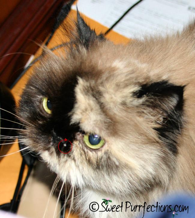 Tortoiseshell Persian Cat with Mast Cell Tumor beside nose