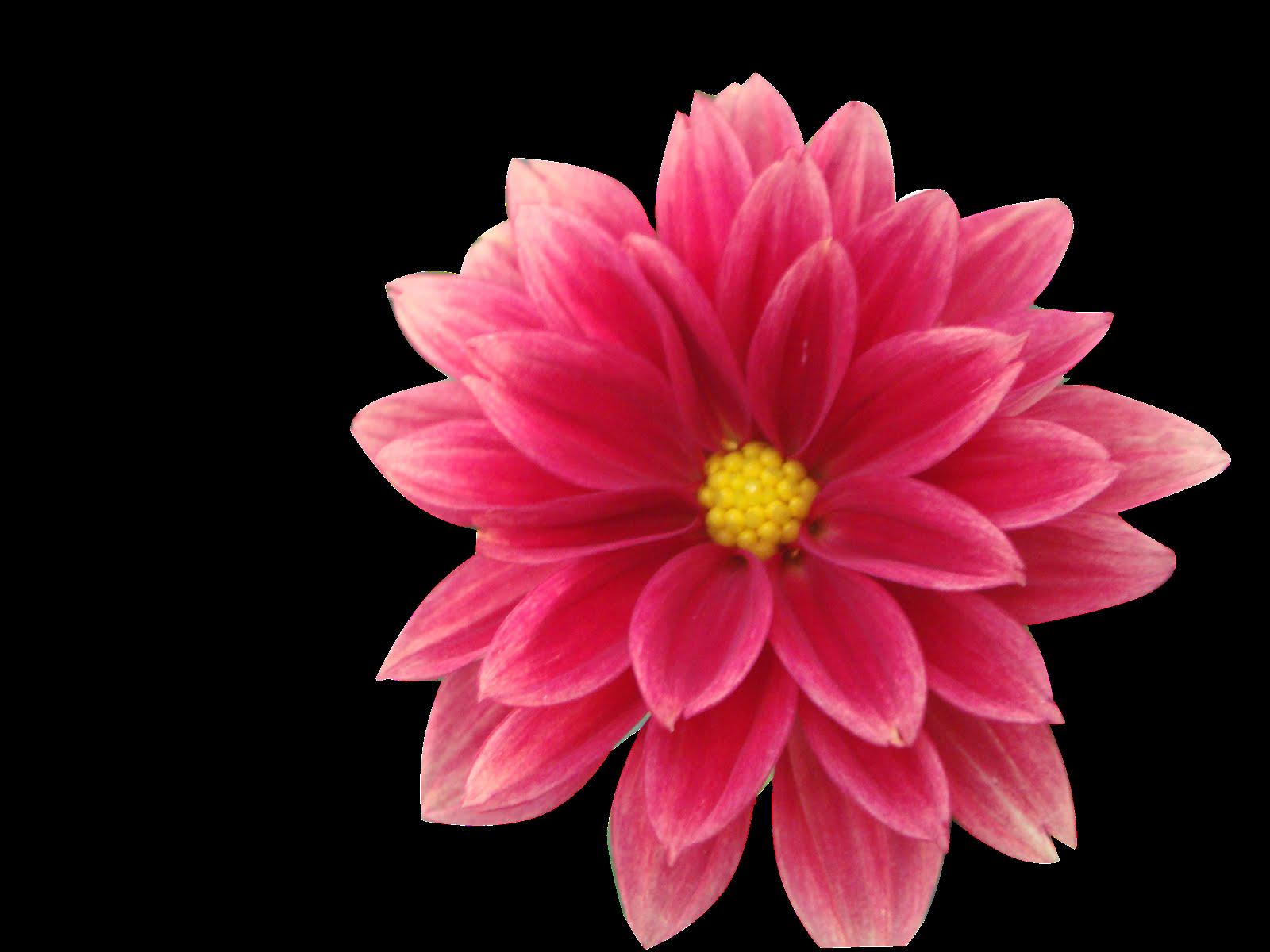 Flores Vectoriales Con Fondo Transparente: CAM Laura Esperanza: RECORTES PNG