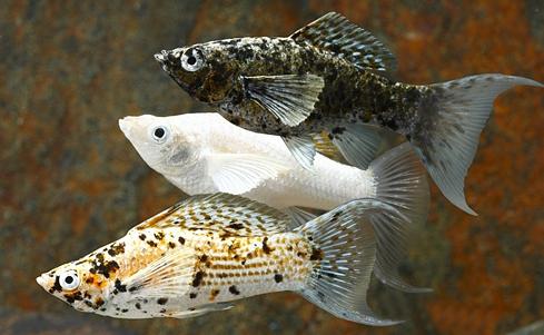 Perbedaan Ikan Molly Jantan dan Betina serta Cara Mengawinkannya