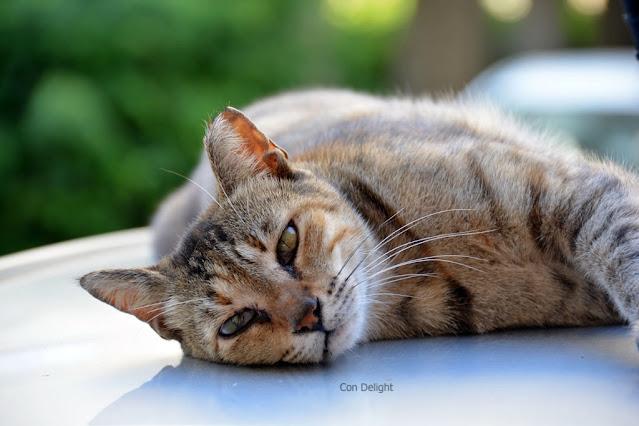 חתול שוכב על גג של רכב
