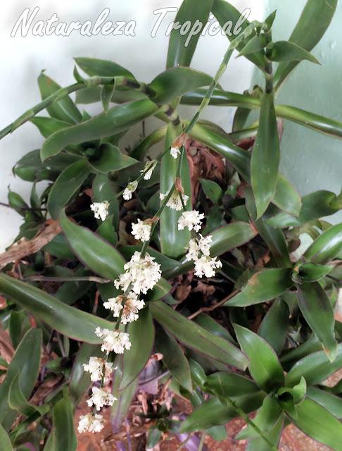 Inflorescencias de la planta canasta, Callisia fragans