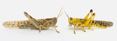 mergezone-Two phases of Locust