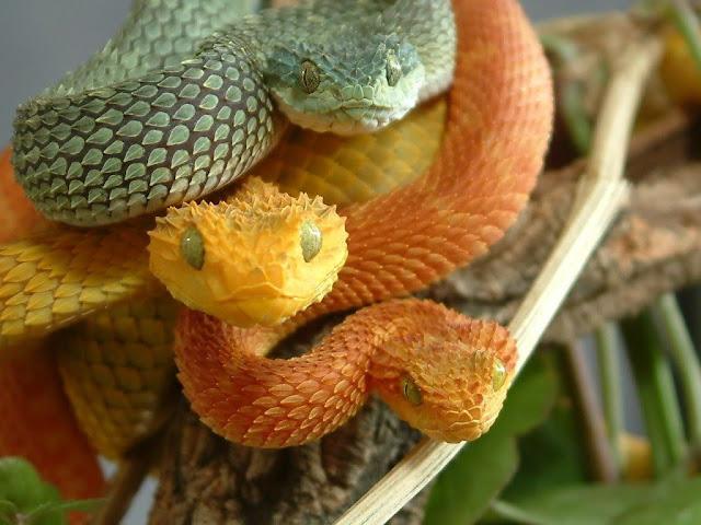 rắn Pit viper vàng cực độc