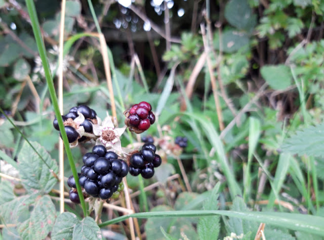 Ripe blackberries growing wild in the hedgerow.  In the background are leaves and foliage.