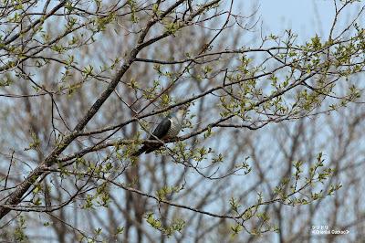 ツツドリ ≪Oriental Cuckoo≫