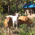 Warga doromelo  Manggelewa, Dompu NTB, pertanyakan sapi bantuan Australia,_