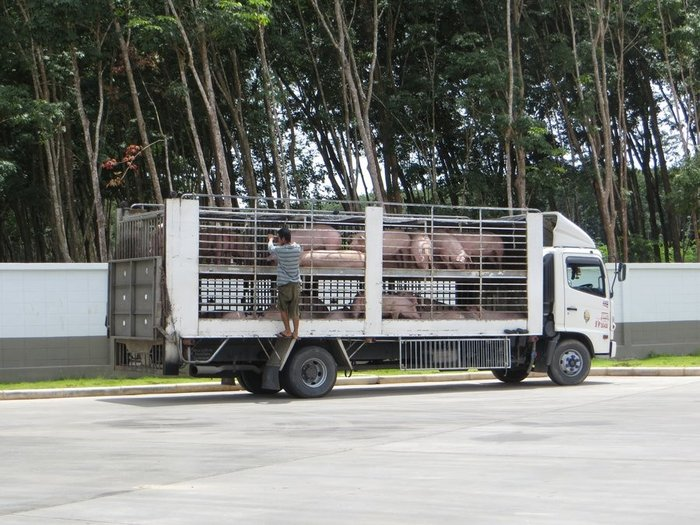 перевозка свиней в Таиланде