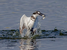 Pied kingfisher after a dive - Woodbridge Island Vernon Chalmers Photography