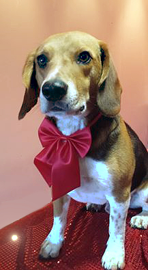 dog washed tamworth Benjy the beagle pampered at mutleys