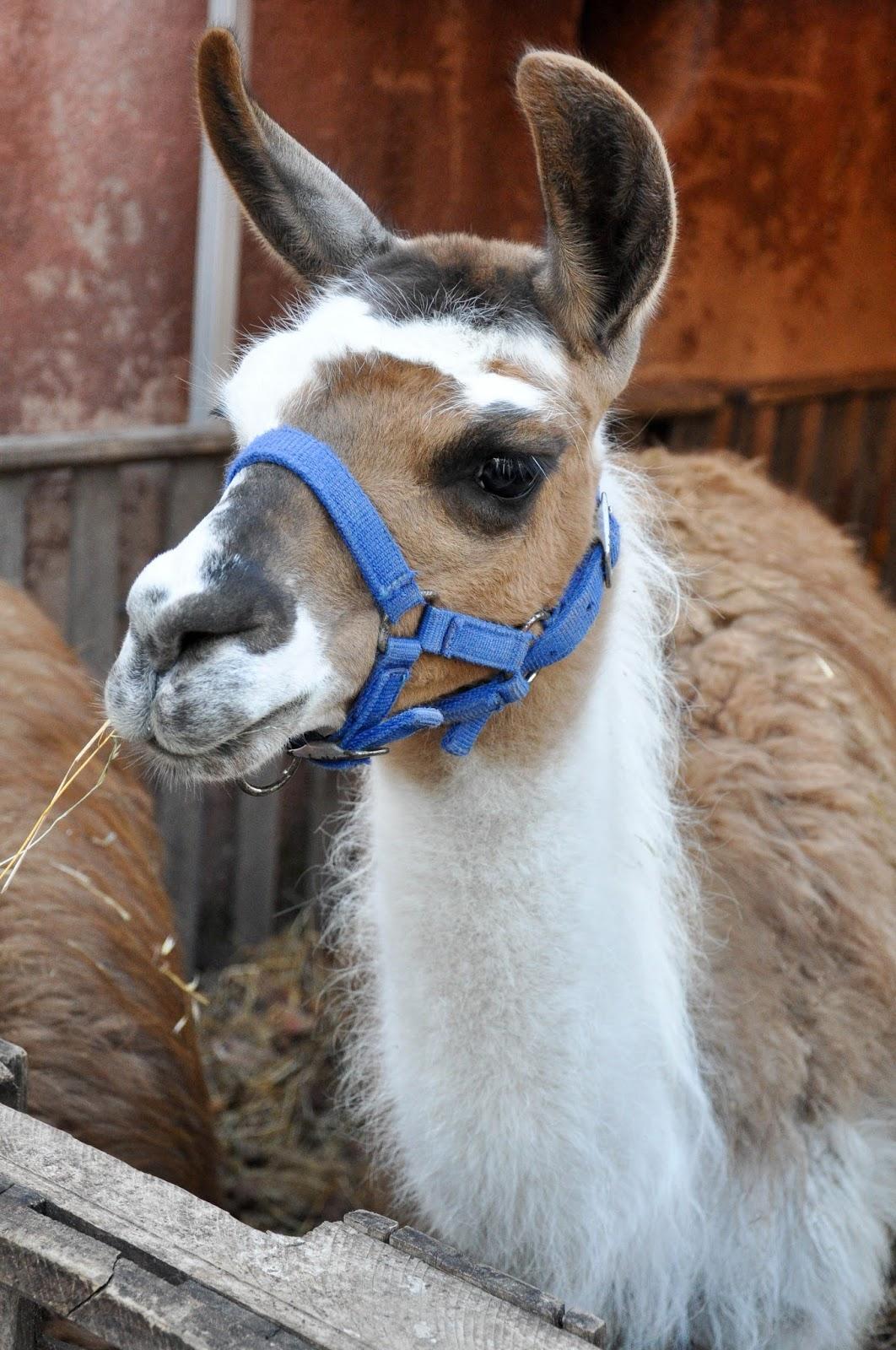 Lama, Petting zoo, Natale di Fiaba 2015, Thiene, Italy