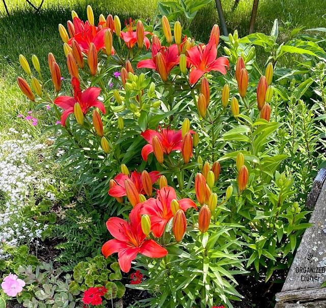 My Late June Flower Junk Garden Border With Planting Guide #junkgarden #flowergardening #annuals #perennials #plantingguide #flowerborder #gardendecor #farmhousegarden
