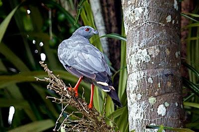 Gavilán de patas largas Geranospiza caerulescens