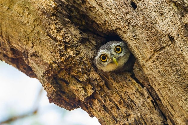 baby owls pictures