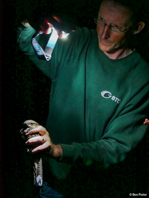 A Nightjar being ringed, photo by Ben Porter