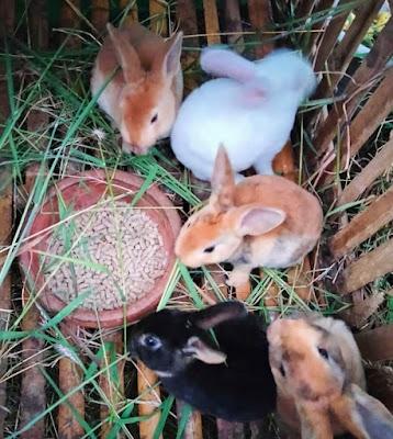 Kelinci adalah