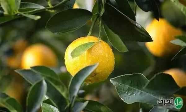معلومات عن شجرة الليمون