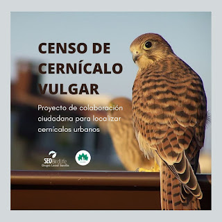 Censo de Cernícalo vulgar en Sevilla. Grupo Local SEO-Sevilla.
