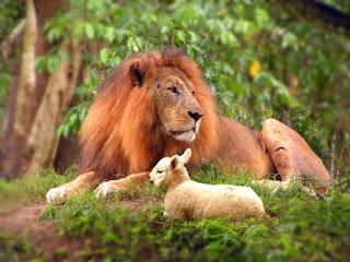 E morará o lobo com o cordeiro, e o leopardo com o cabrito se deitará, e o bezerro, e o filho de leão e o animal cevado andarão juntos, e um menino pequeno os guiará (Isaías 11:6)