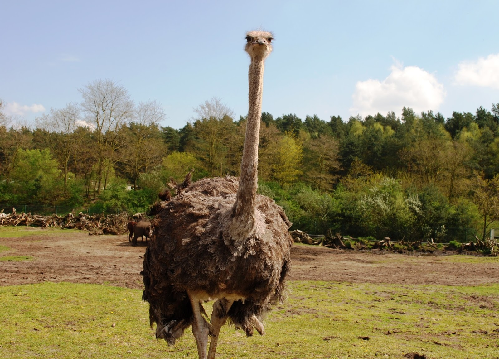 Ostrich's commanding appearance.