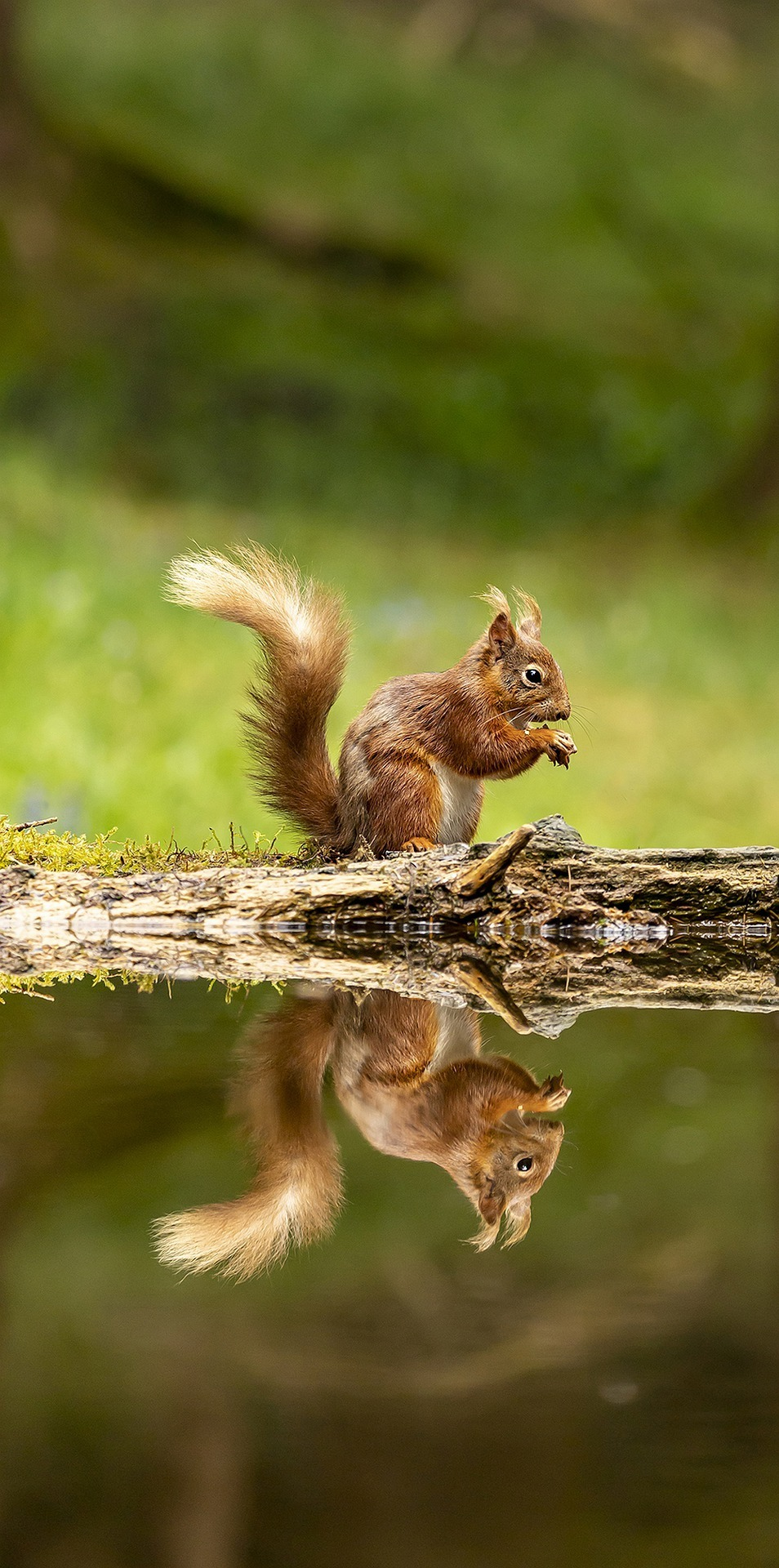 Amazing squirrel reflection capture.