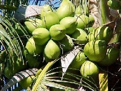 Công dụng chữa bệnh của quả dừa