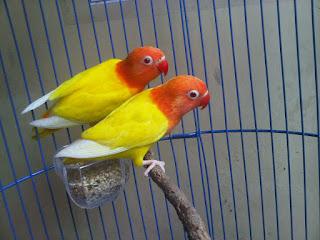 gambar lovebird lutino, lovebird lutino ngekek, lovebird lutino, lovebird lutino gacor