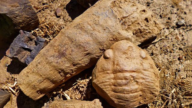 """Descubren en España un """"raro fósil marino"""" de hace 465 millones de años"""