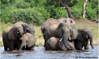 Mortes de centenas de elefantes na África, elefantes, Botsuana, meio ambiente, natureza, animal,