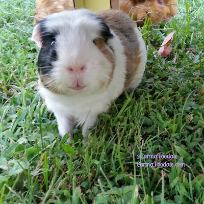 Guinea Pig smiling