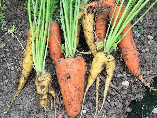 Karotten frisch geerntet
