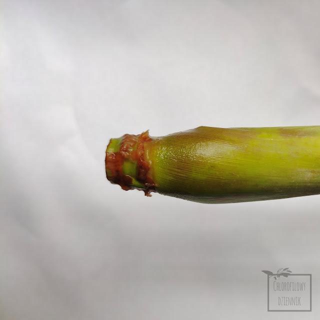 Trawa cytrynowa palczatka (Cymbopogon citratus) jak ukorzenic z łodygi ze sklepu ukorzenianie palczatki trawy cytrynowej krok po kroku ile trwa sadzenie jak szybko rosnie