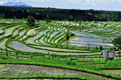 Area persawahan Jatiluwih Rice Terrace - Backpacker manyar