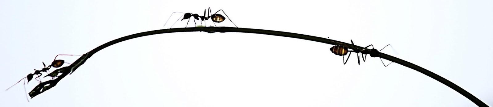 ramo de um planta é escalado por três formigas