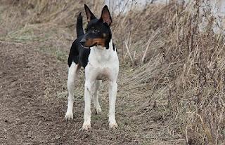 kelebihan anjing kampung