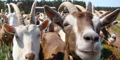Court remands 3 suspected goats thieves in Ebonyi, sdnewsblog, crime news Nigeria, Linda ikeji's blog, instablog9ja blog, ShugasDiary news blog, Nigerian blogger,