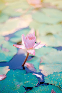 a pink lotus flower growing in a pond