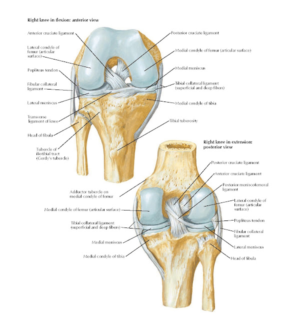 Knee: Cruciate and Collateral Ligaments Anatomy