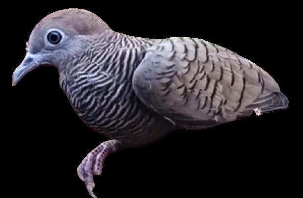 jenis jenis burung perkutut dan gambarnya Gendewo Sabda