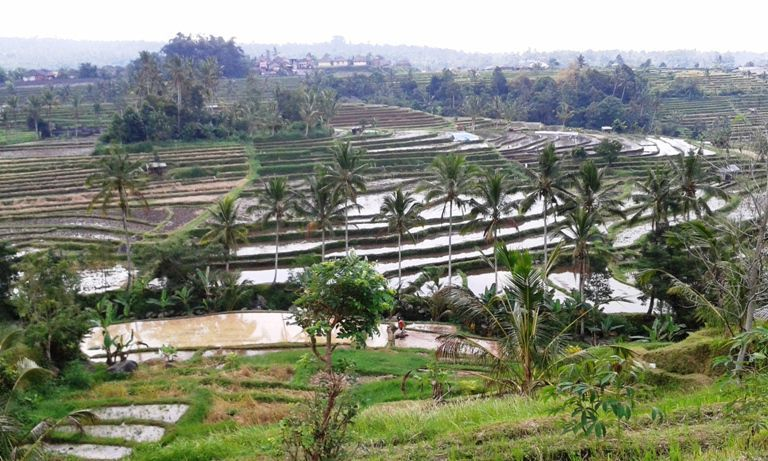 Jatiluwih Bali Rice-field Terraces Tourist Attraction - Tour, Program, Trip, Itinerary, Plan, Schedule, Jatiluwih, Village, Penebel, Tabanan, Bali Off The Beaten Track, Tours, Attractions
