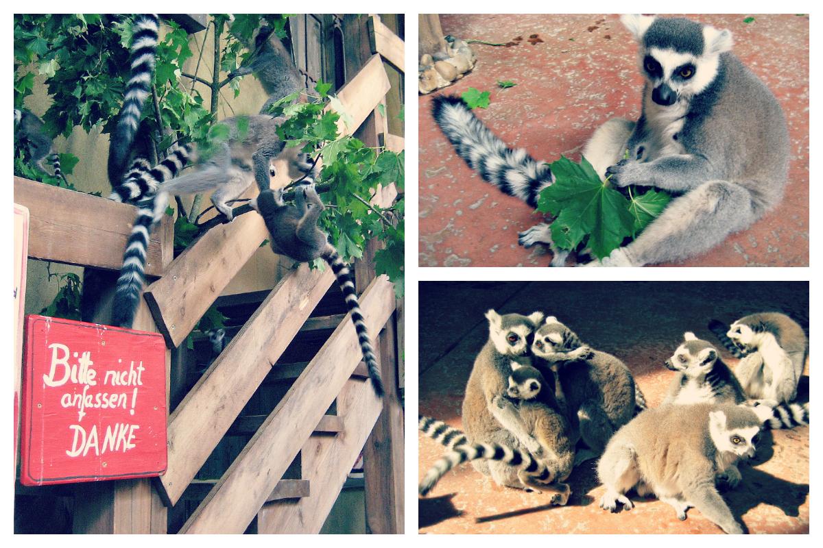lemury / lemurs
