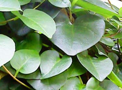 Manfaat daun binahong untuk diabetes, asam urat, gagal ginjal