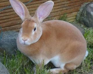 jenis kelinci bligon