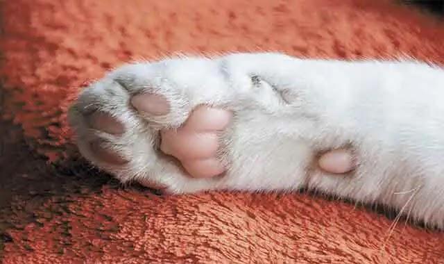 Les chats du Bengal peuvent-ils avoir des pattes blanches